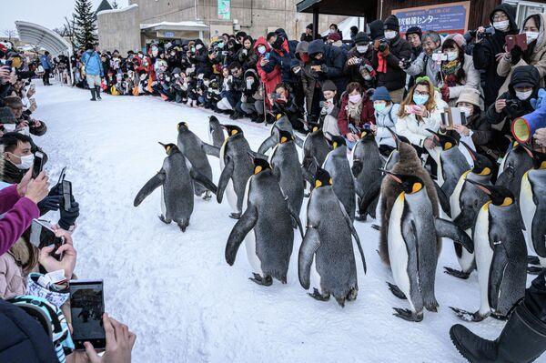 Королевские пингвины в японском зоопарке