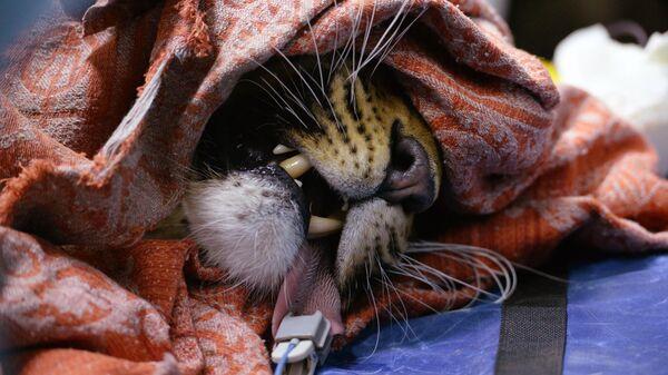 Дальневосточный леопард Leo 131M Эльбрус в Центре реабилитации и реинтродукции тигров и других животных во Владивостоке