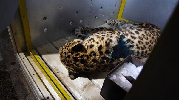 Во время подготовки леопарда к транспортировке во Владивостоке. Хищник пострадал из-за столкновения с автомобилем