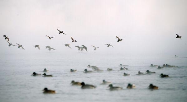 Дикие утки летят над рекой Енисей в морозный день в городе Дивногорск в Красноярском крае