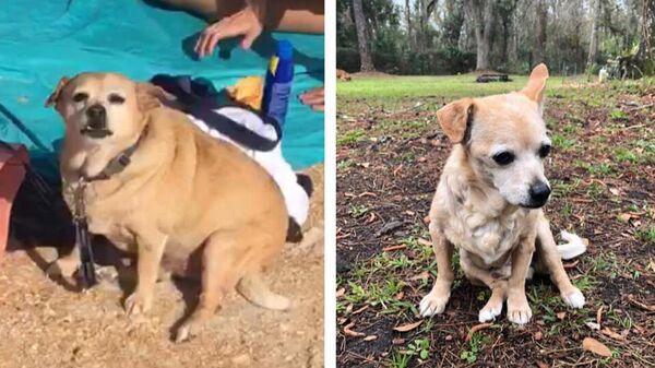 Собака чихуахуа по кличке Cleatus до и поле сброса лишнего веса