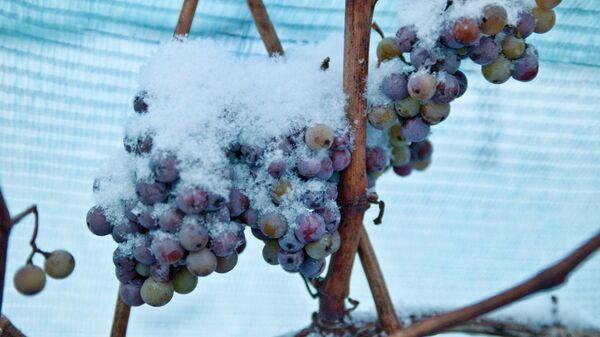 Заснеженный виноград для ледяного вина в винодельческом объединении Фрейбург