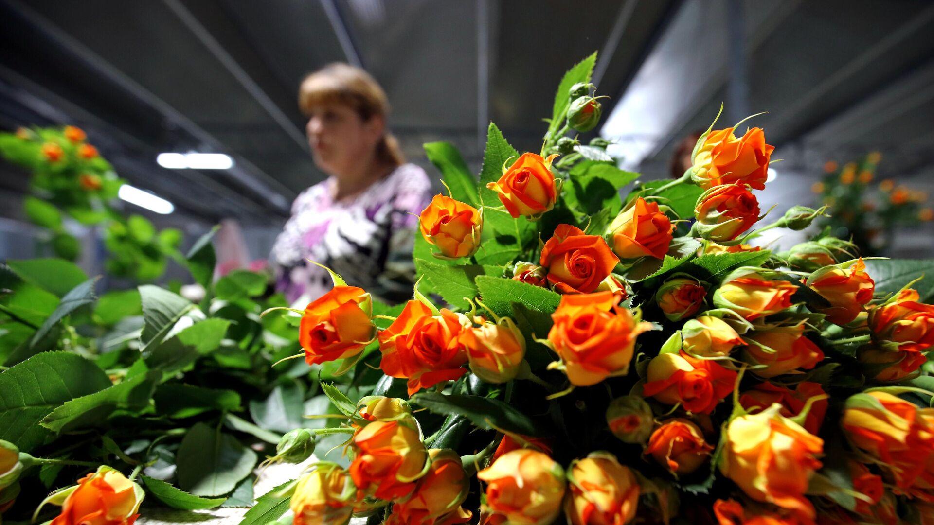 Розы в тепличном комплексе Зелёный дом в республике Адыгея - РИА Новости, 1920, 20.02.2021