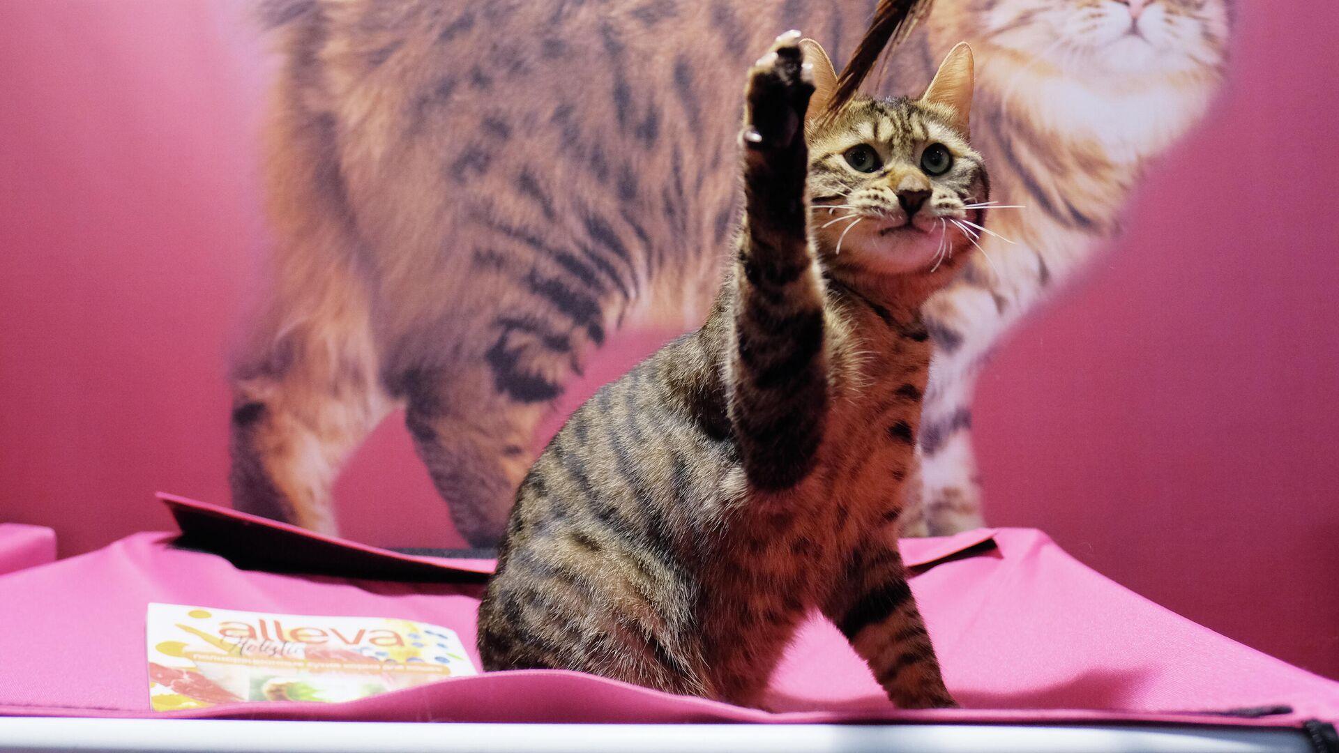 Кошка породы бобтейл на международной выставке Кэтсбург в выставочном центре Крокус Экспо в Красногорске - РИА Новости, 1920, 15.09.2020