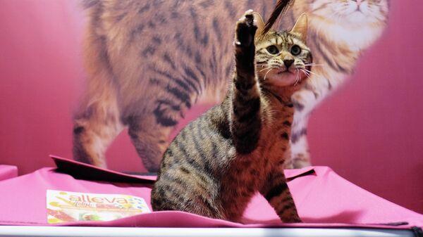 Кошка породы бобтейл на международной выставке Кэтсбург в выставочном центре Крокус Экспо в Красногорске