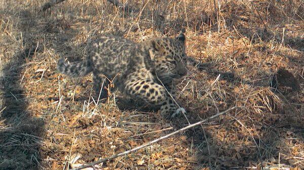 Котёнка леопарда спасли от пожара на юге Приморья