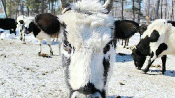 Корова якутской породы
