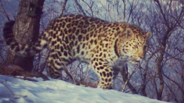 Дальневосточный леопард Leo 114F в национальном парке Земля леопарда в Приморском крае