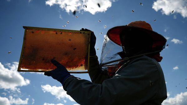 Соты в руках пчеловода на пасеке
