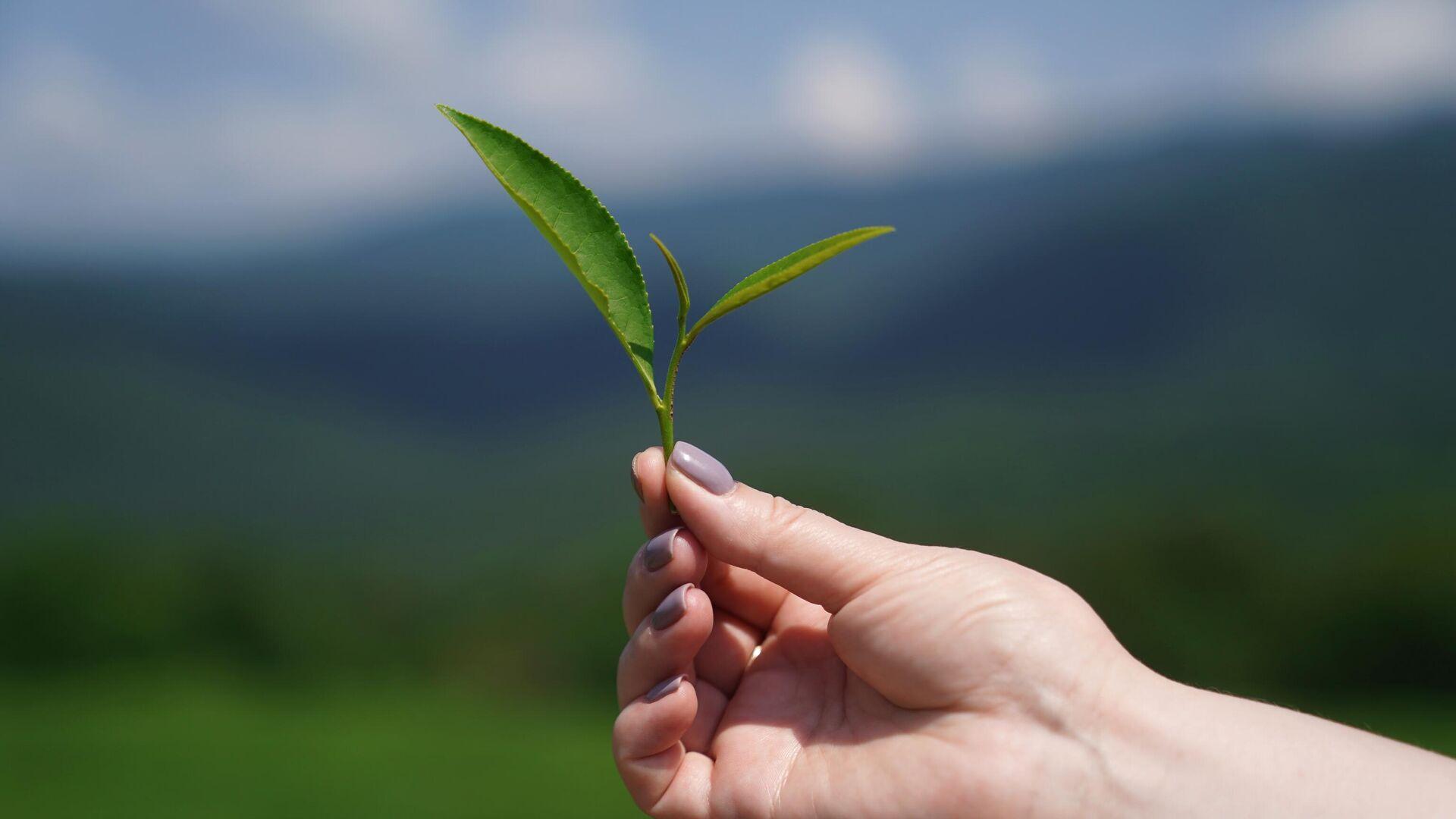 На Кубани выводят холодоустойчивые сорта чая