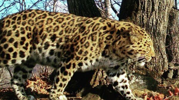 Дальневосточный леопард Leo 157M