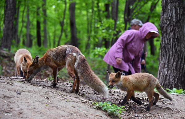 Лисица с детенышами, поселившаяся на острове Русском