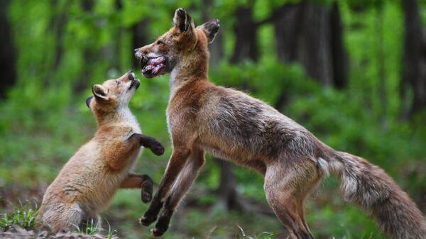 Лисица с детенышем, поселившаяся на острове Русском