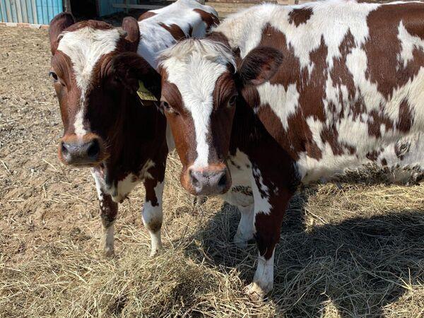 Телки айрширской породы из хозяйства при сыроварне