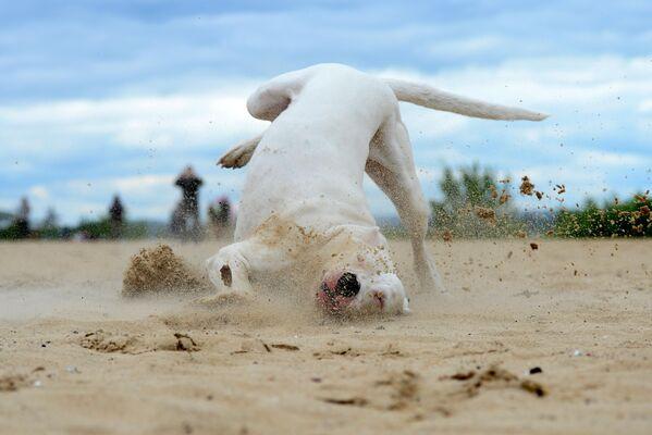 Аргентинский дог во время тренировки собак по курсингу - полевым испытаниям с приманкой, имитирующим преследование и поимку зверя