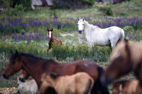 Лошади пасутся на лугу в Белогорском районе Крыма