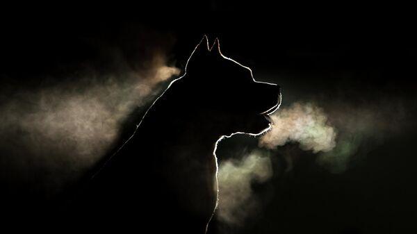 Собака порды стафордширский терьер