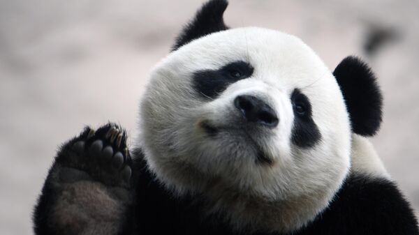 Большая панда в вольере Московского зоопарка перед открытием после карантина