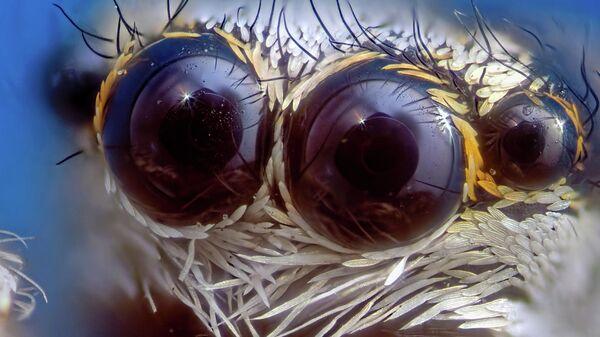 Природа, 1-е место. Оптика паука-скакуна (Salticidae)