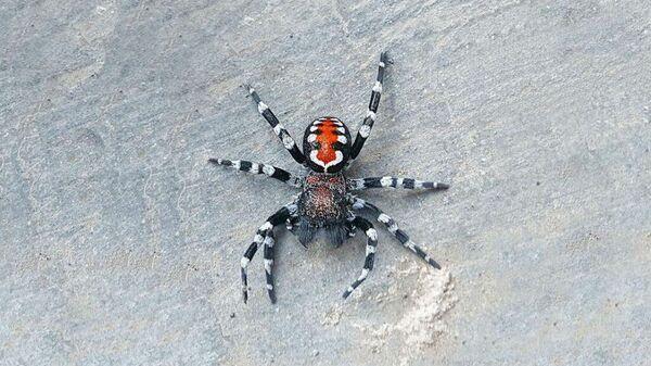Недавно найденный вид паука  Loureedia phoenixi