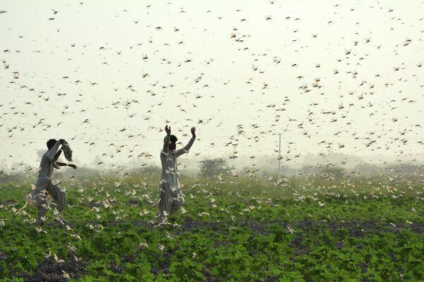 Фермеры во время нашествия саранчи в Пакистане