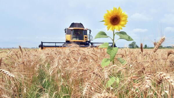 Комбайн собирает зерно с поля в селе Малая Дивица, Украина