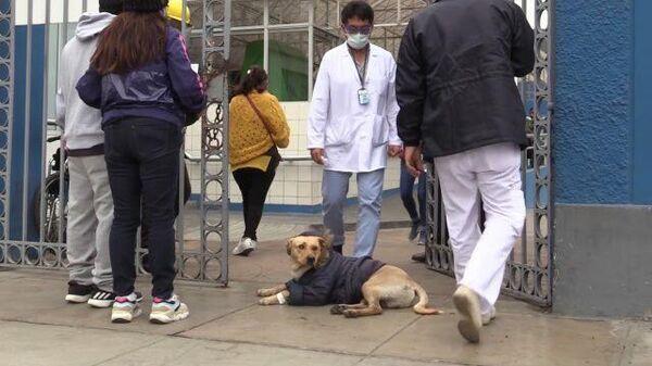 Как Хатико: верный пес ждет заболевшего коронавирусом хозяина у больницы