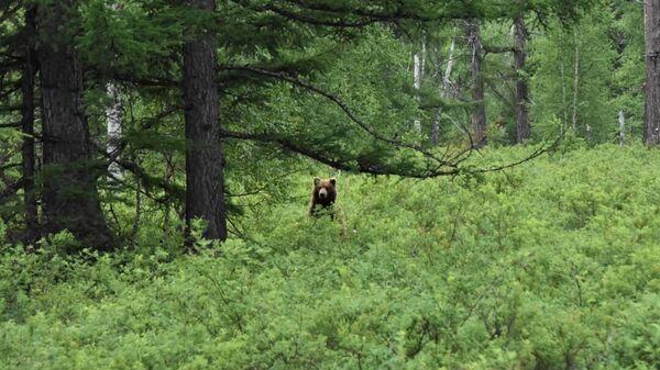 Медведь в Кроноцком заповеднике