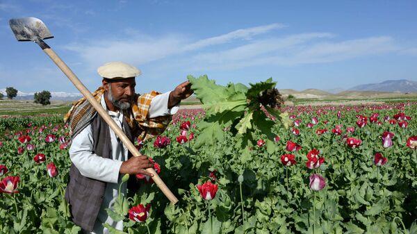 Афганский фермер работает на маковом поле на окраине Джелалабада