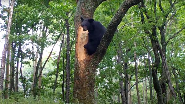 В Приморье гималайский медведь, крадущий мед из улья, попал на видео