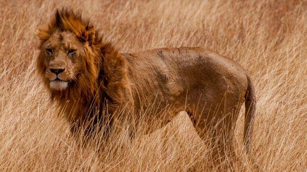В индийском зоопарке восемь львов заразились коронавирусом