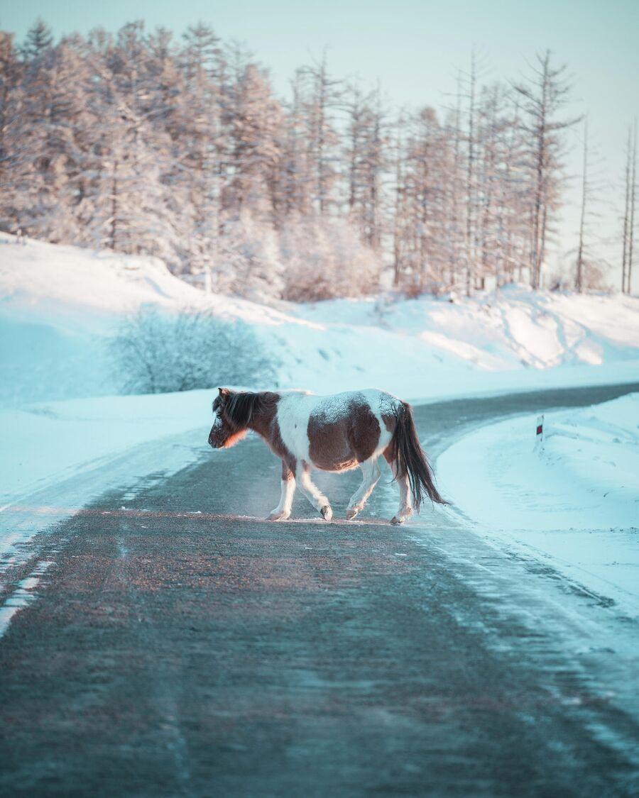 Якутская лошадь переходит Колыму