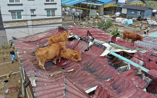 Коровы, застрявшие на крыше после сильного наводнения на ферме в Гурье, Южная Корея