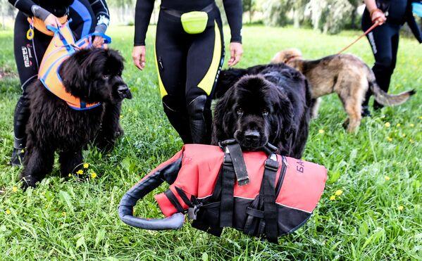 Собаки-водолазы во время тренировок на поисково-спасательной станции Строгино
