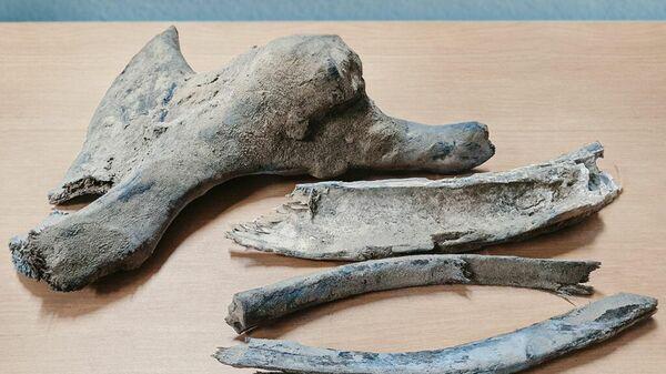 Останки мамонта, обнаруженные на Новопортовском нефтегазоконденсатном месторождении в Ямало-Ненецком автономном округе