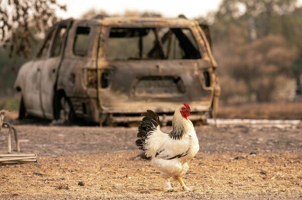 Петух проходит мимо сгоревшего автомобиля в Вакавилле, Калифорния