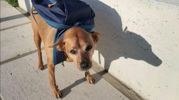 Десятилетний пинчер по кличке Луиджи из города Фельтре, удостоенный премии Собачья верность 2020