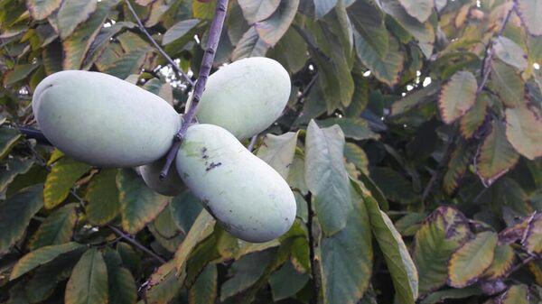 Плоды азимины в крымском питомнике