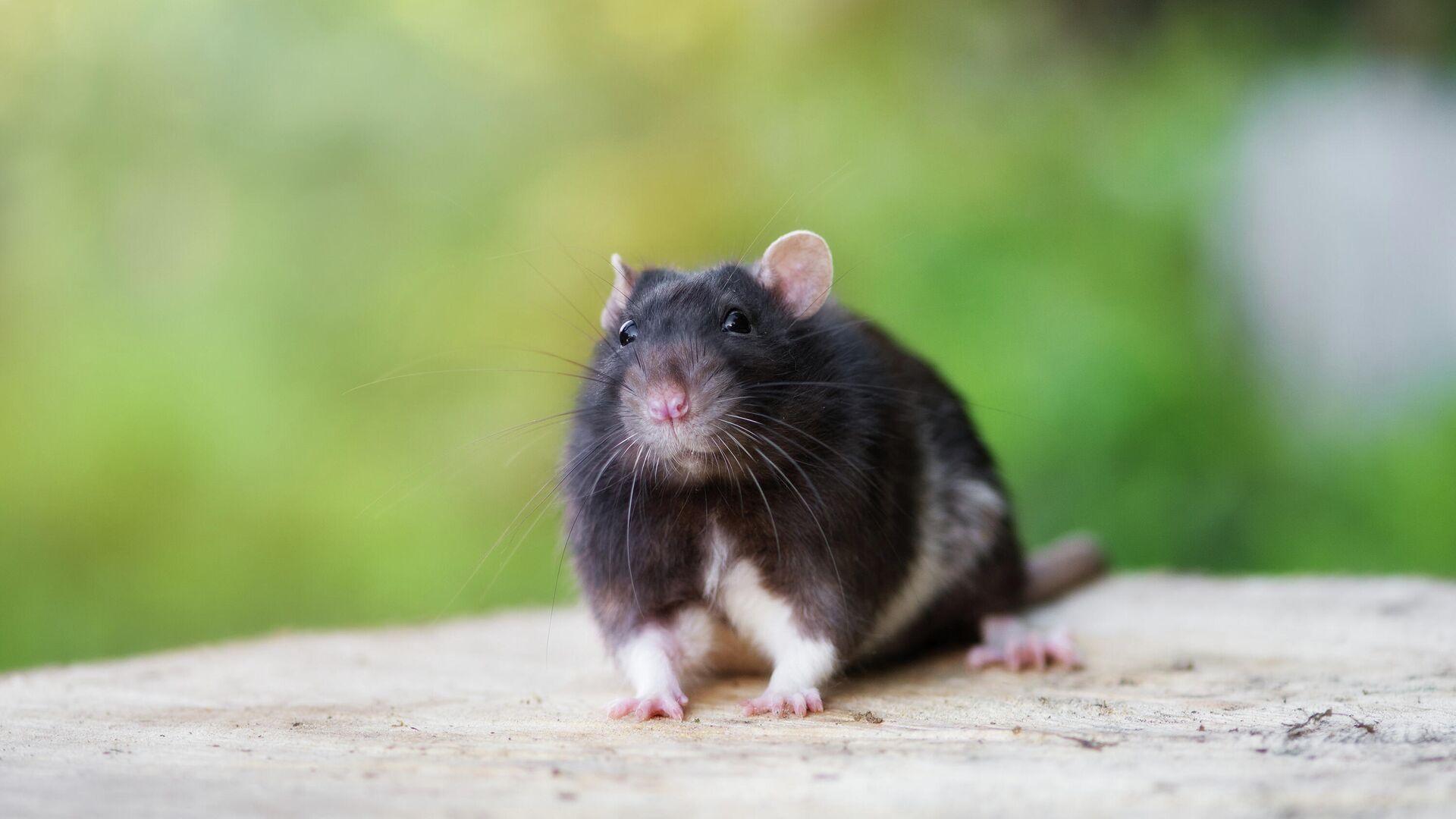 Ученые рассказали об итогах эксперимента по поиску рака с помощью крыс