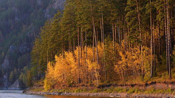 Деревья на берегу Бирюсинского залива на Красноярском водохранилище в Красноярском крае