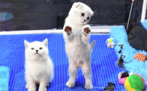 Котята пород скоттиш-фолд (справа) и британская на выставке КоШарики Шоу в Сокольниках