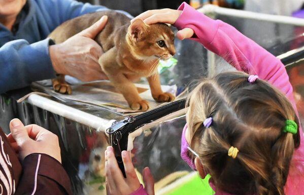 Посетитель выставки КоШарики Шоу в Сокольниках гладит кошку абиссинской породы