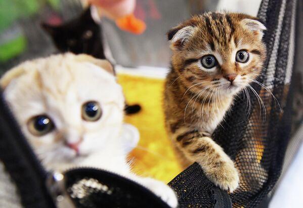 Котята породы скоттиш-фолд (шотландская вислоухая) на выставке КоШарики Шоу в Сокольниках