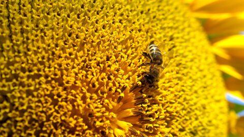 Пчела на цветке подсолнечника