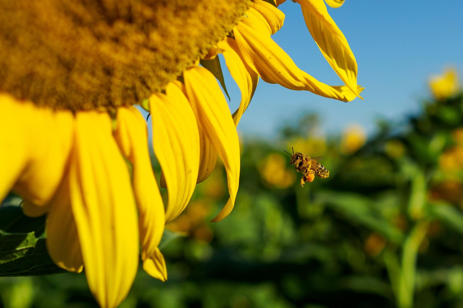Пчела около цветка подсолнечника - РИА Новости, 1920, 28.09.2020