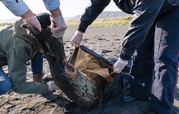 На Камчатке тысячи морских животных выбросились на берег