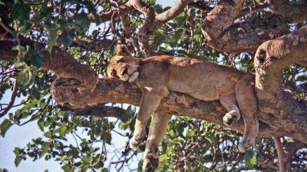 Лев в национальном парке королевы Елизаветы в Уганде