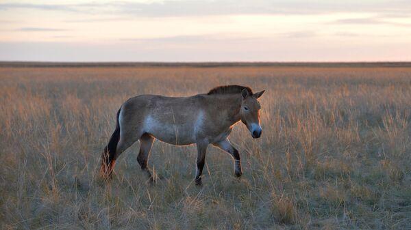Лошадь Пржевальского в государственном природном заповеднике Оренбургский
