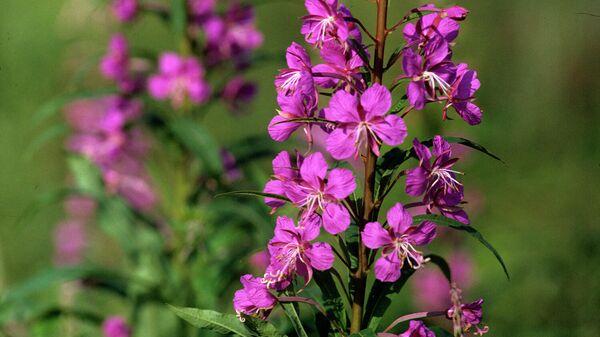 Цветение иван-чая