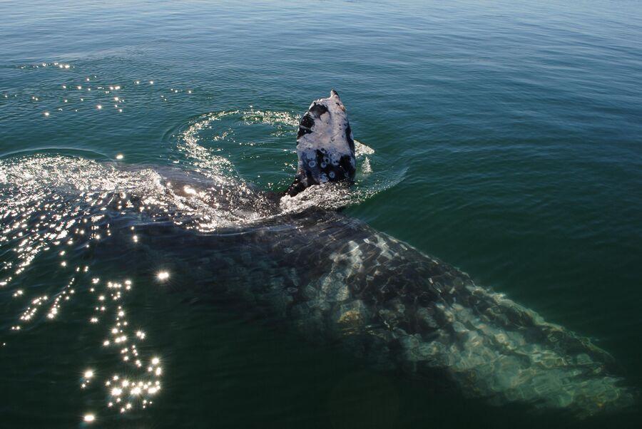 Серый кит в лагуне Заячий глаз в штате Южная Нижняя Калифорния